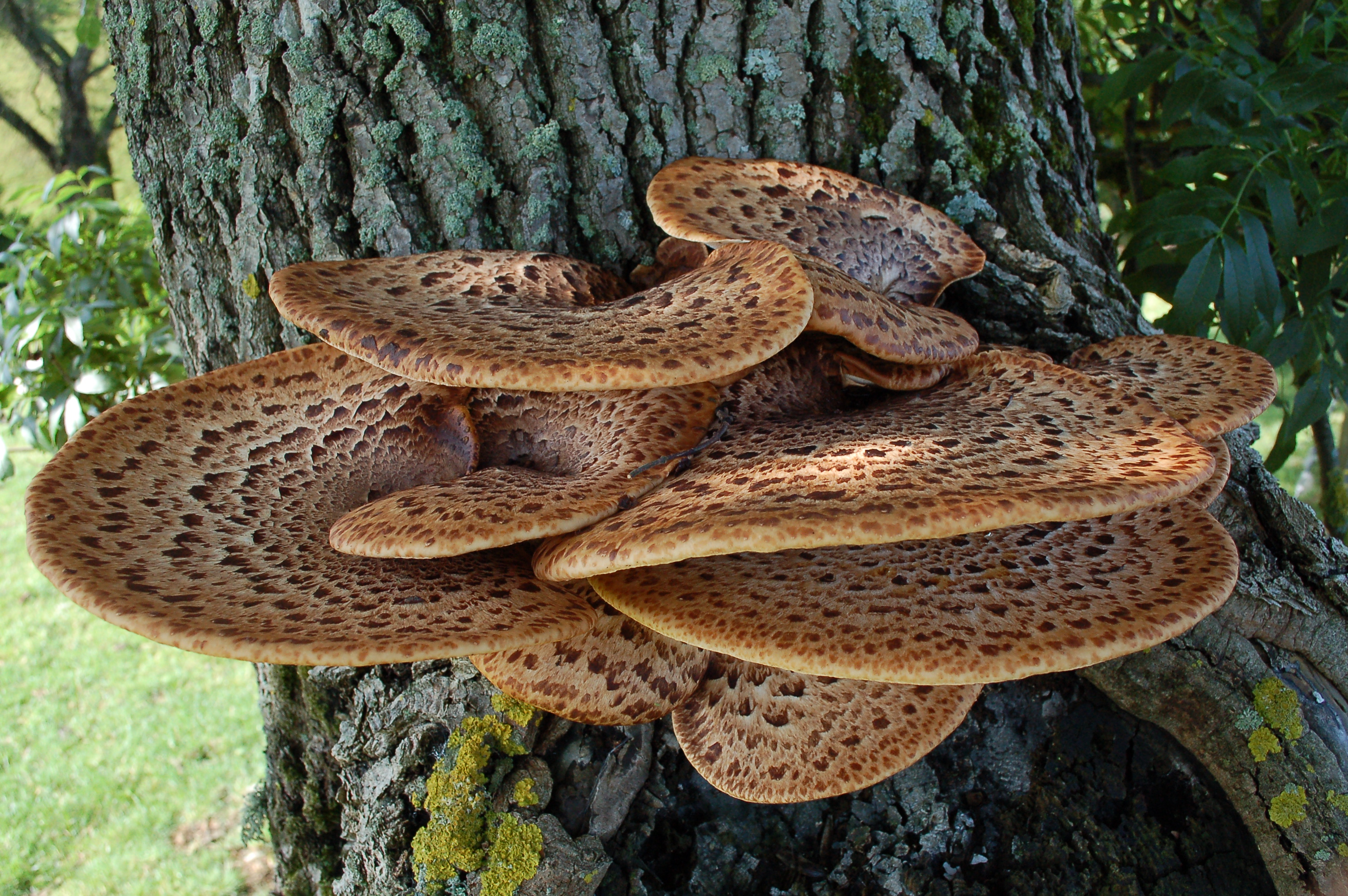 Image result for dryad's saddle pic