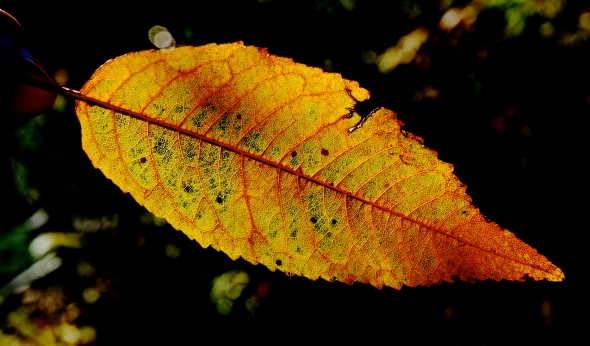 Winter Cherry Leaf