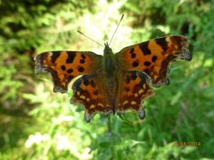 Comma Butterfly  Polygonia c-album